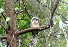 Indian Grey Hornbill (Juvenile)